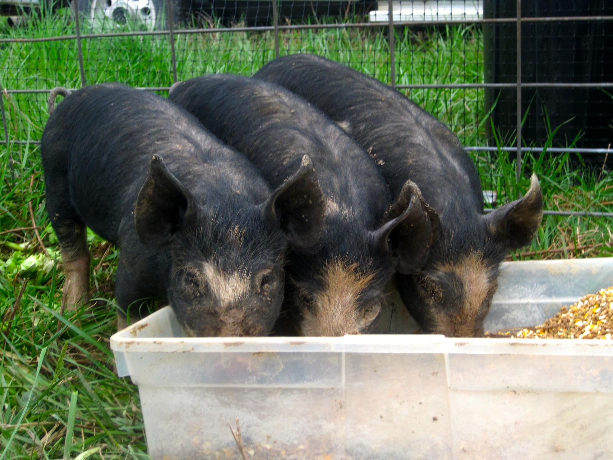 Salad Garden pigs