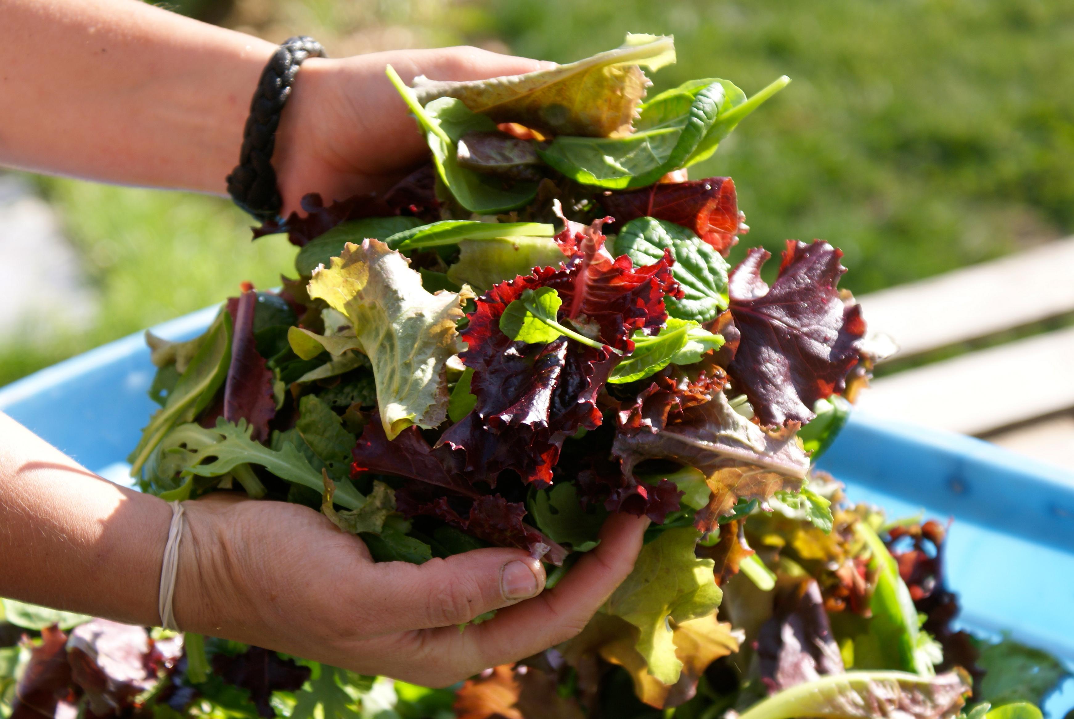 Salad Garden lettuce harvest