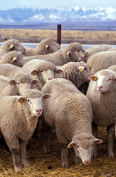 GIPSA Begins Investigation of Sheep Price Manipulation