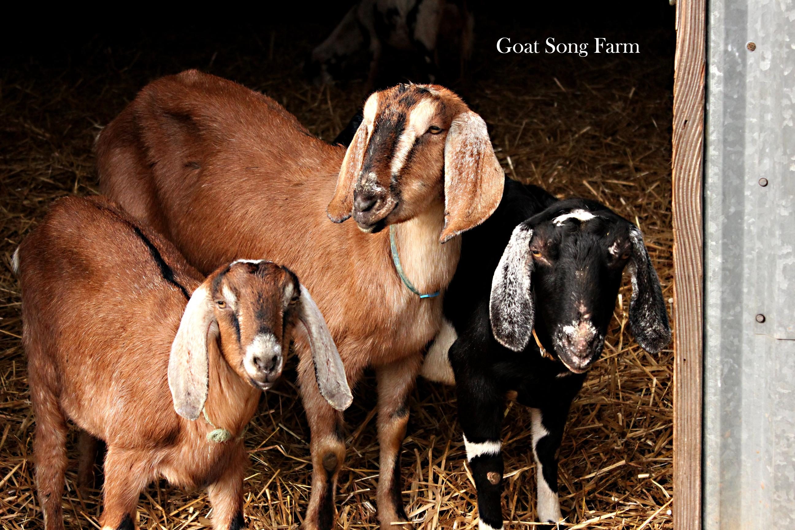Goat Song Farm goats