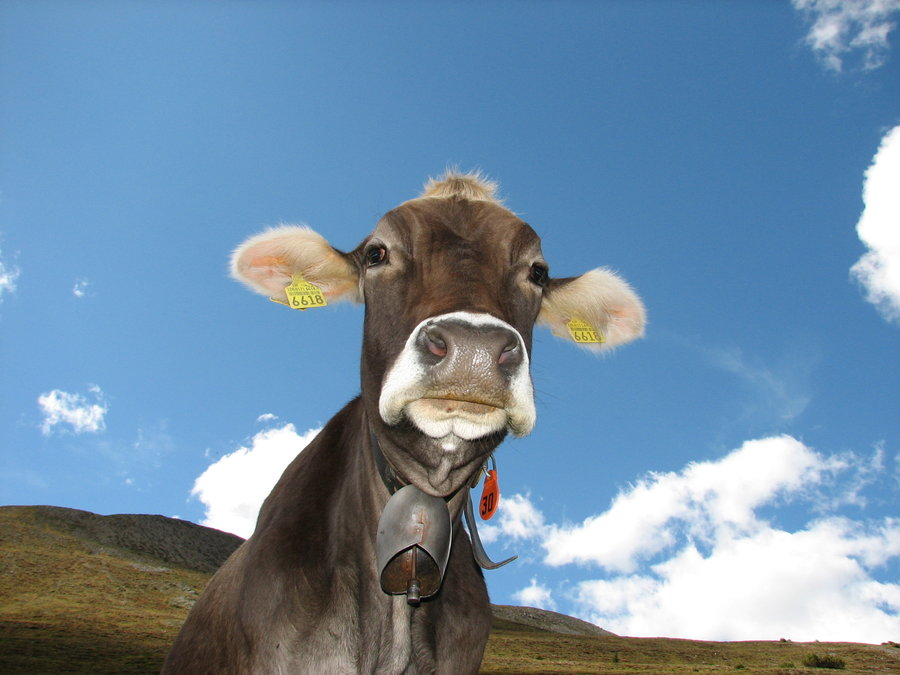 Funny cow, photo courtesy of Martouf