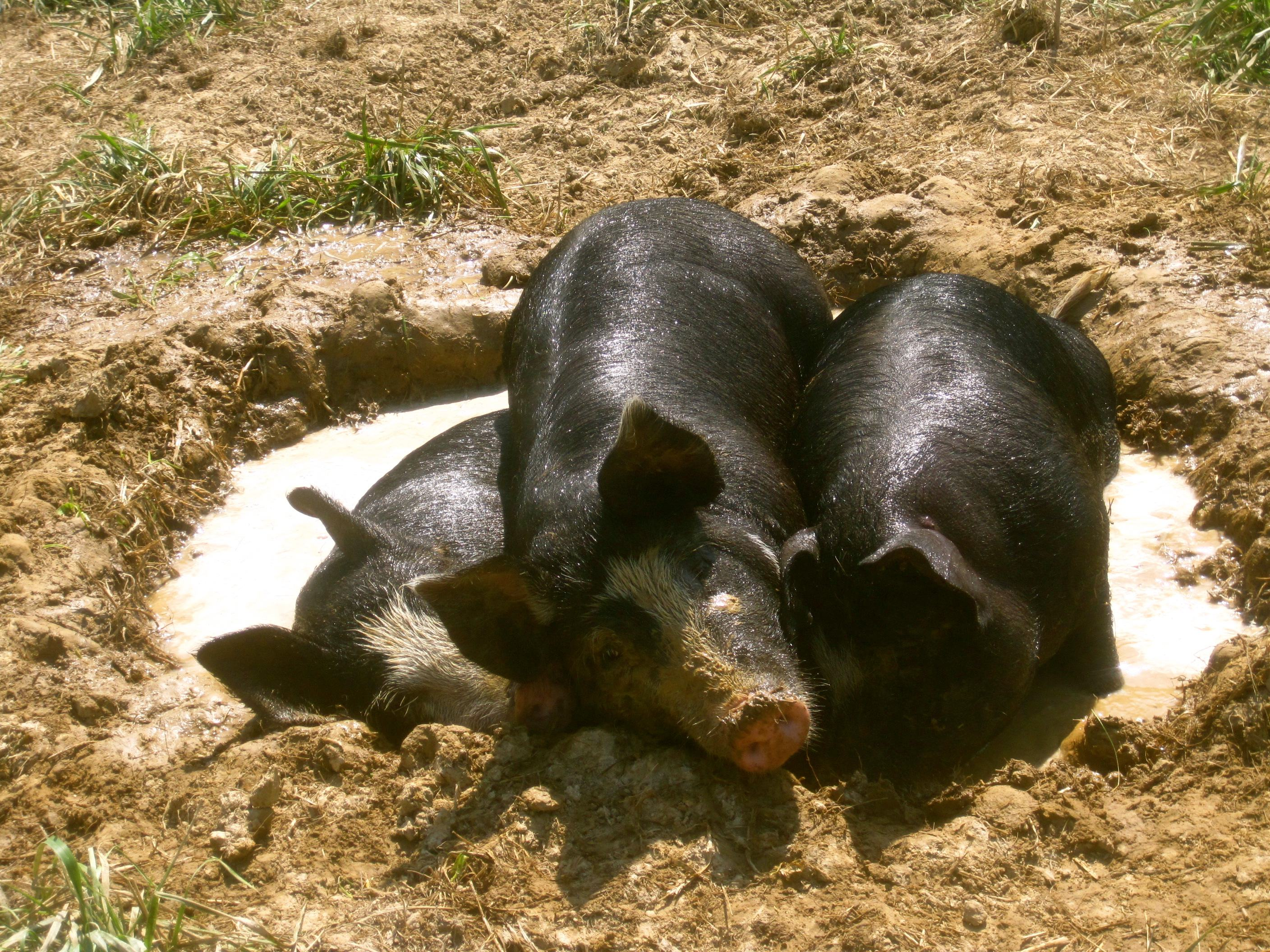 The Salad Garden's hogs remind us why we care!