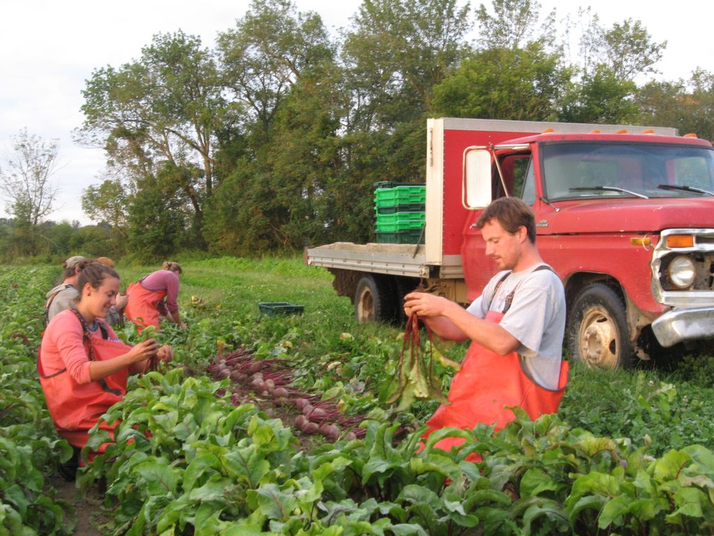 Roxbury farm crew harvesting beets.  Photo courtesy of Roxbury Farm