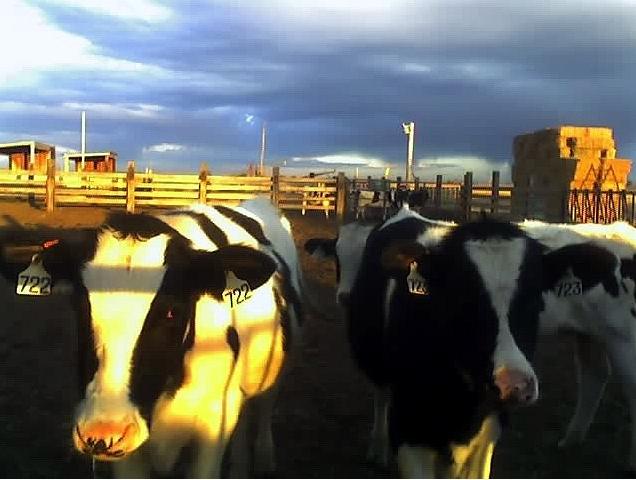 heifers at sunset, photo courtesy of Jess Johnson