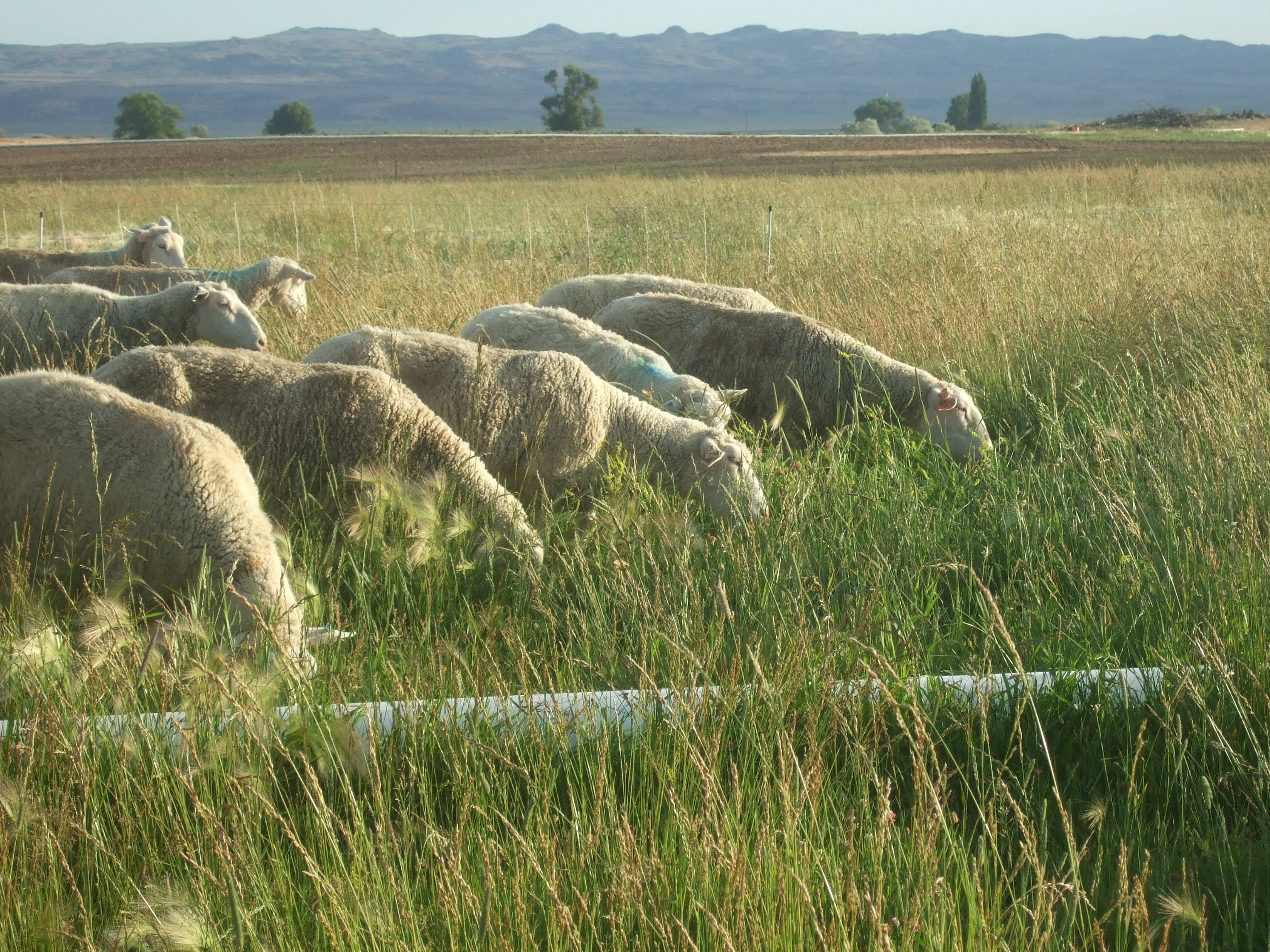 Blue Sage Farm - sheep grazing