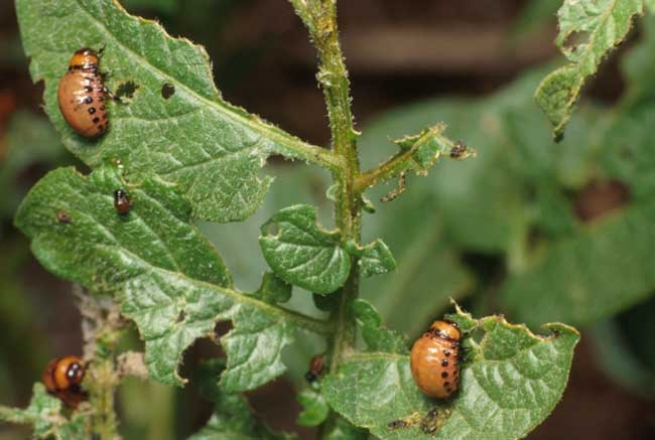 Colorado Potato Beetle larva damage