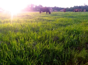 North-Country-Creamery-2nd-grazing-lush-hayfield-small