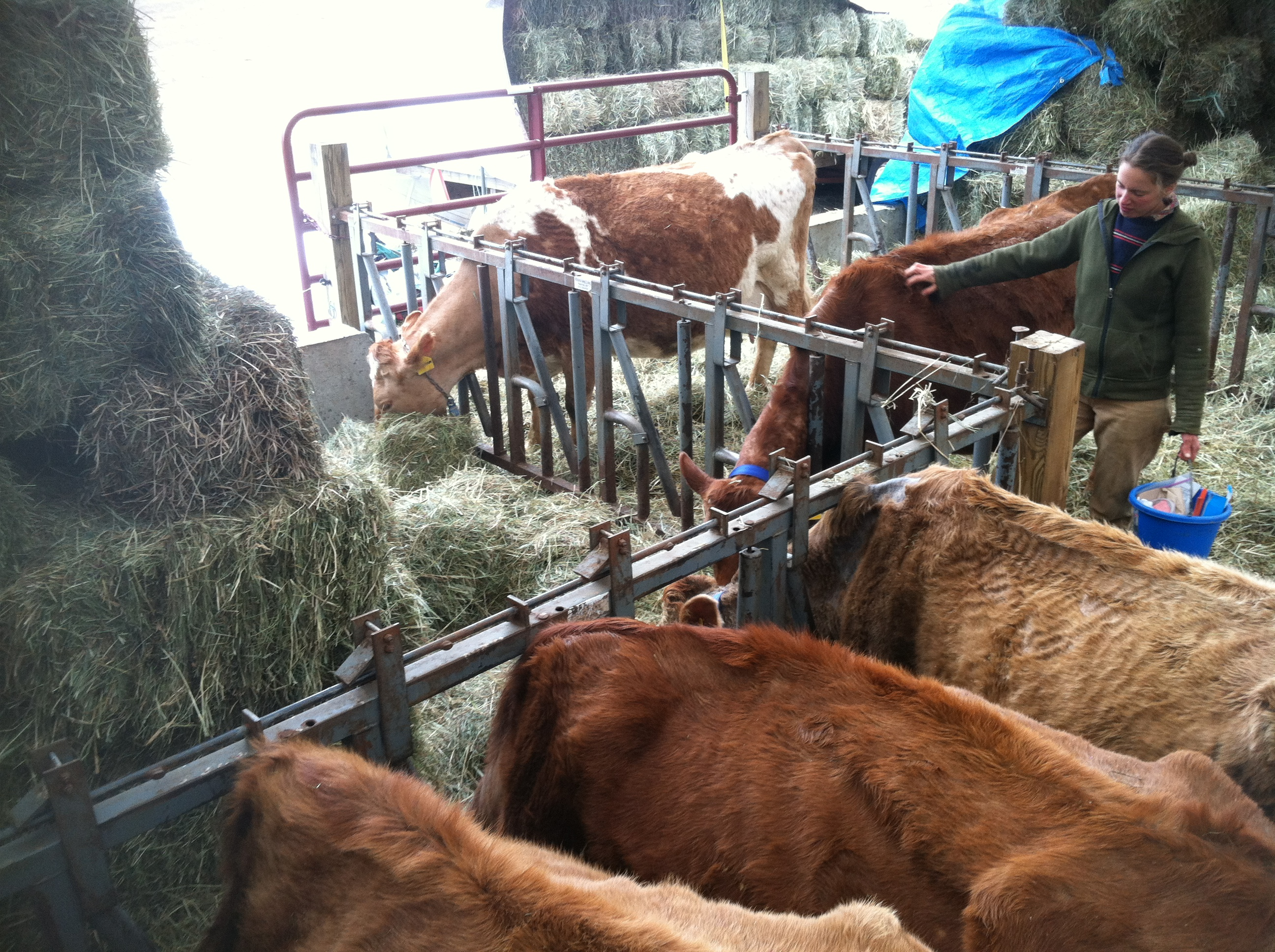 Cows in winter @ North Country Creamery