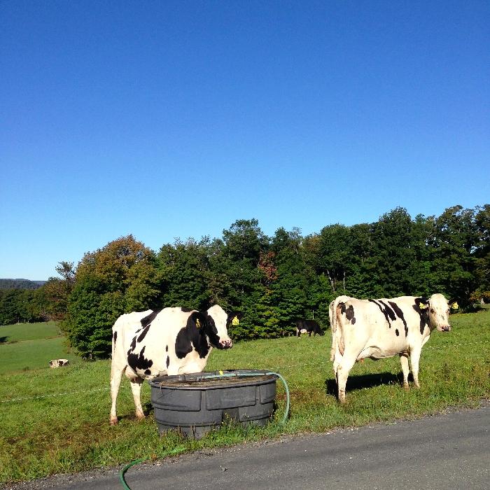 Corse Family Farm - cows on pasture 2