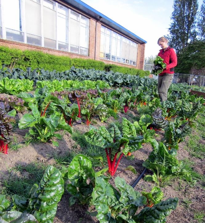 City Grown Seattle - Noe harvesting chard