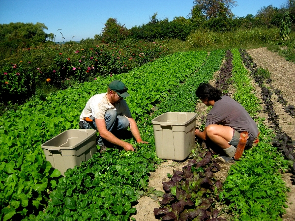 Plowbreak farm - harvesting greens