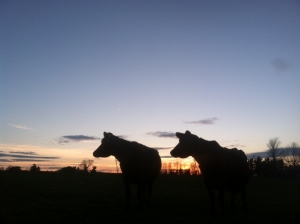 North Country Creamery - cows at sunrise