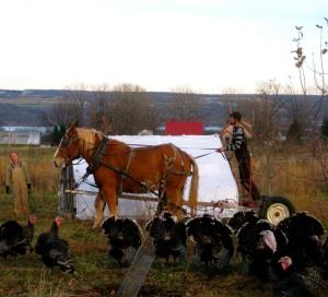 Good Life Farm - turkeys and horses