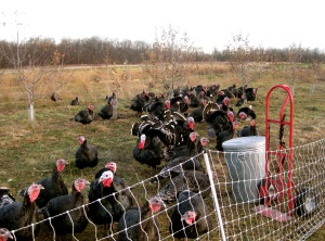 Good Life Farm - turkeys