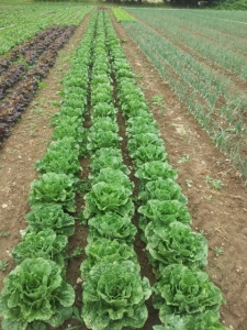 Rogue Farm Corps lettuce pic