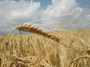 Grain field, courtesy of Wikimedia Commons