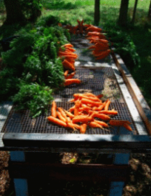 Wild Ridge Farm - carrots