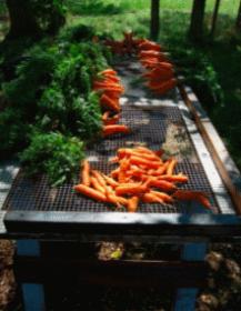 Wild Ridge Farm - carrots