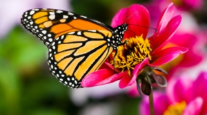 Monarch Butterfly.  Photo courtesy of the Center for Food Safety.