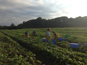 Harvest morning at Hearty Roots Farm in Clermont, NY.
