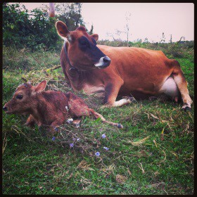 Chaseholm Farm - new calf - small