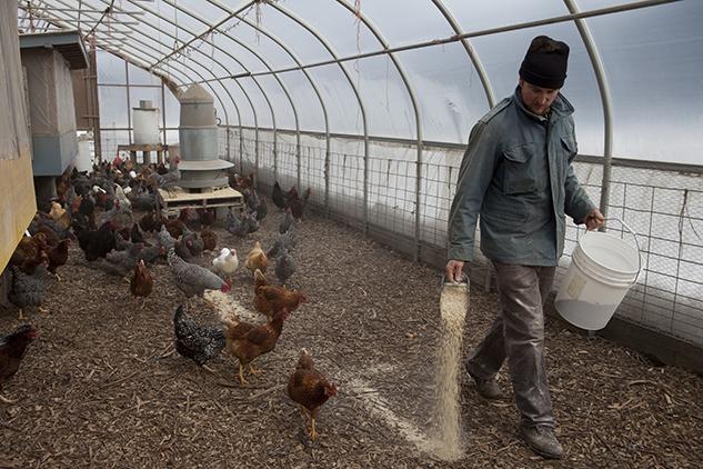 Sean feeding chickens in hoop house