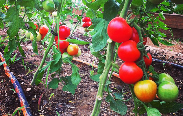 "Maggie's ""Fourth of July"" tomatoes, a variety that ripens early in the season."