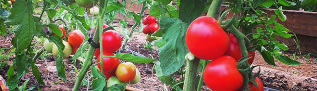 The bittersweet end of tomatoes: BOOTSTRAP AT OLD HOMEPLACE FARM