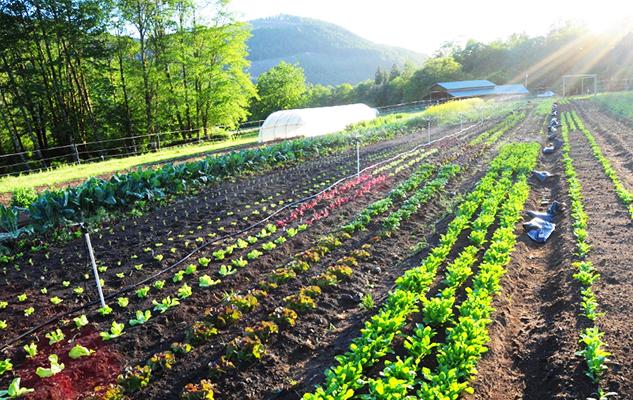 Furrow Horse veggie rows_cropped