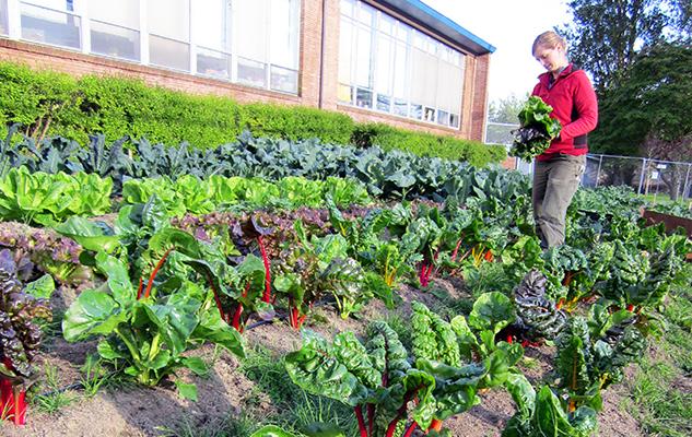 City Grown Seattle - Noe harvesting chard_crop