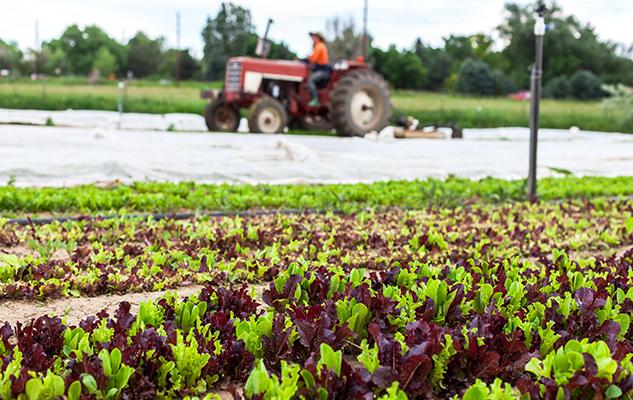 CureOrganicFarm lettuce_KaceyKropp_crop