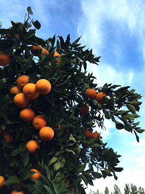 Oranges_IMG_4415_crop
