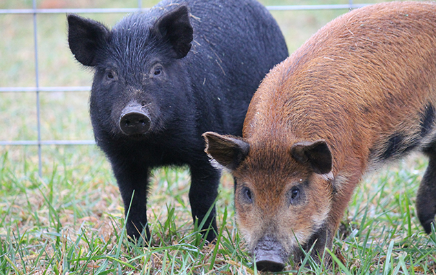 Hannahs_pigs_crop