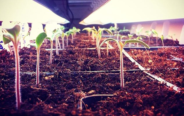 tomatoseedlings_crop