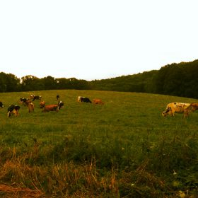 Chaseholm-Farm-grazing-behind-electric-line
