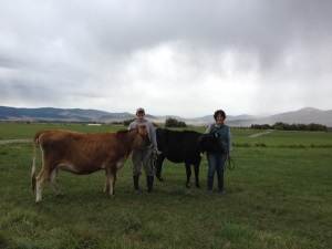 The-Golden-Yoke-standing-with-the-cows-small