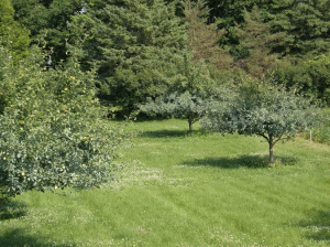 Wild-Ridge-Farm-apple-trees-sprayed