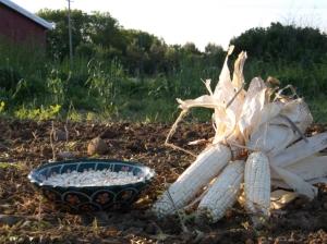 Wild-Ridge-Farm-corn-seed