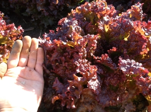 Wild-Ridge-Farm-lettuce-seed