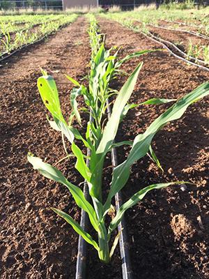 blue-corn_cropped